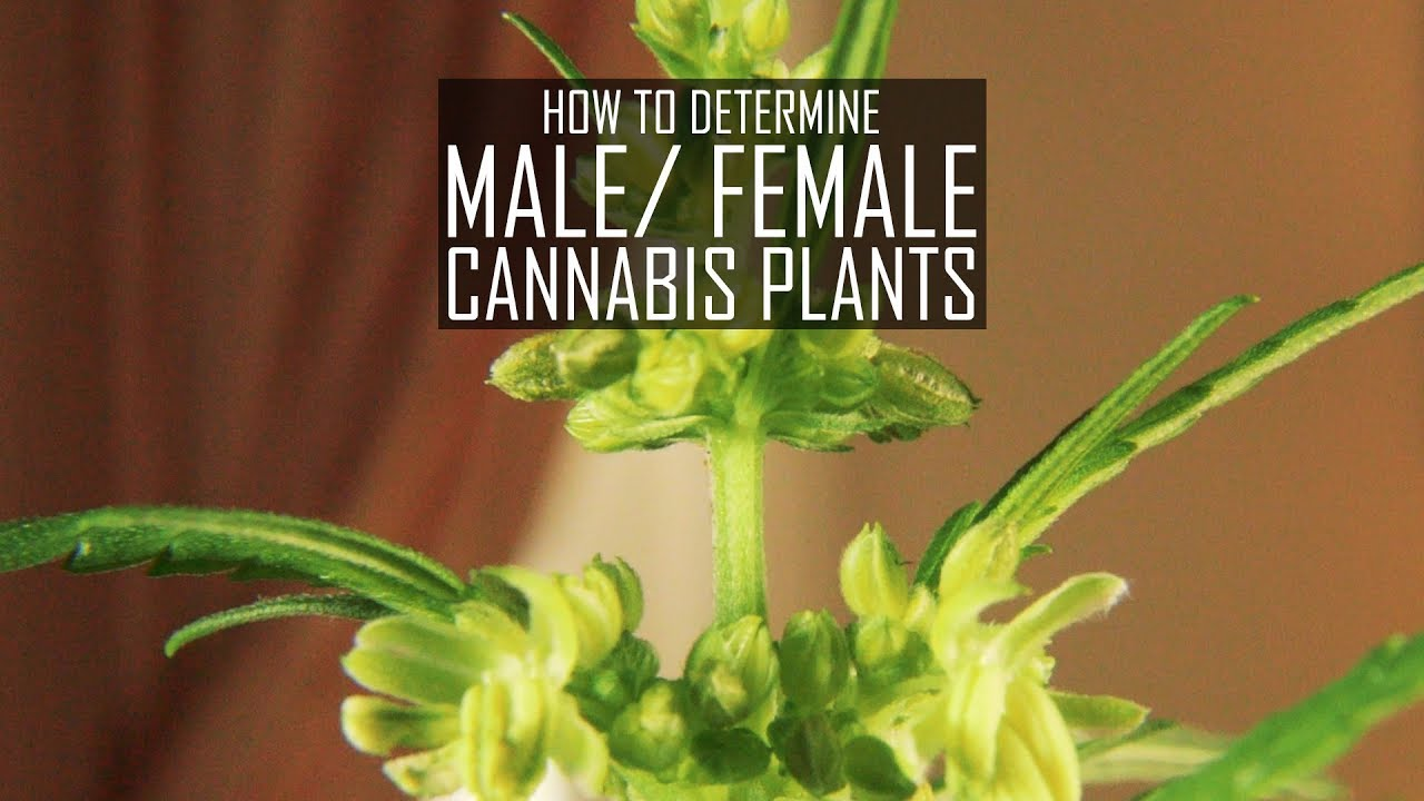 How To Grow Cannabis Ep 3 Determining Male or Female Plants